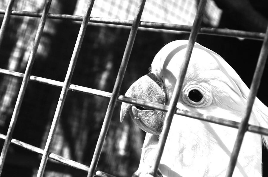 Болезни попугаев. Самоощипывание