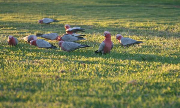 розовые какаду в природе