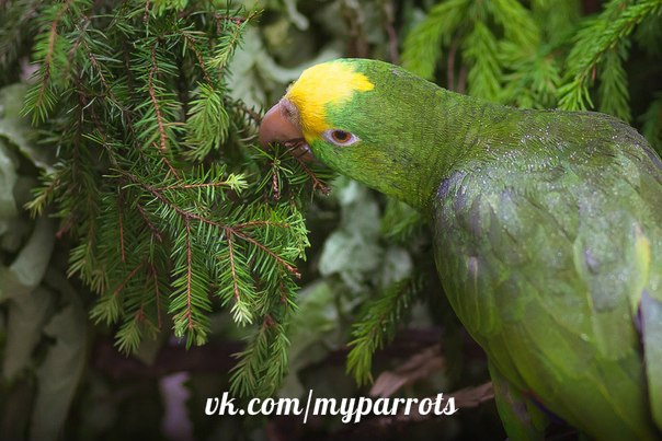 можно ли давать попугаю елку