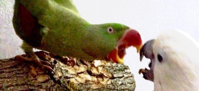 агрессия попугаев