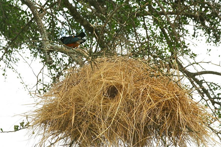 Гнездо превосходного скворца. Танзания. фото Маргариты Сарапаевой.