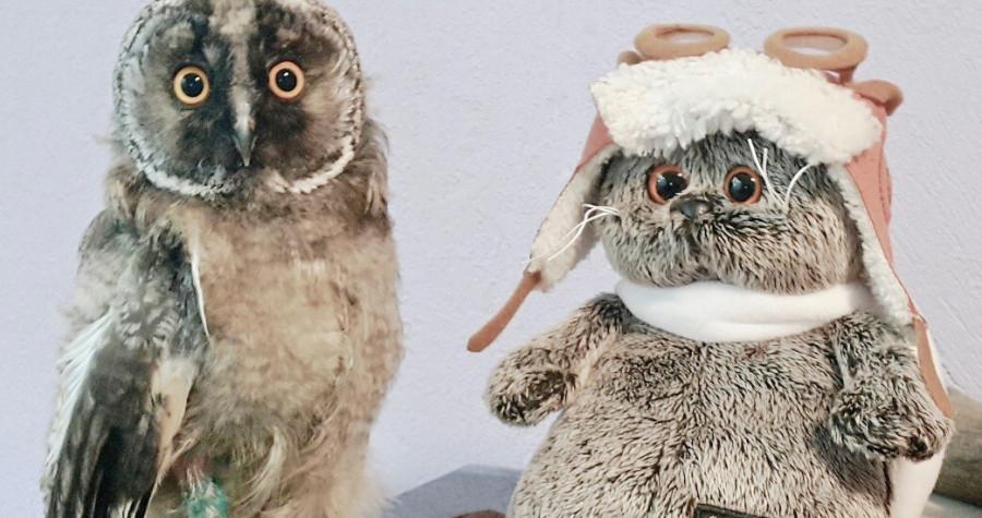 птенцы совята как помочь? чем кормить совенка?