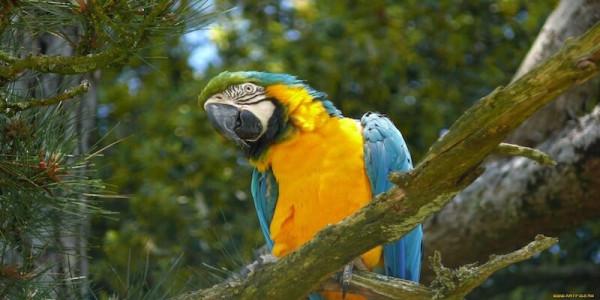 попугаи ара в природе