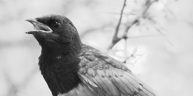 болезни и лечение канареек, амадин, ткачиков, дроздов, врановых птиц