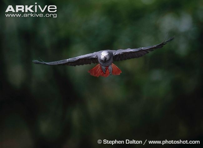 Краснохвостый жако (Psittacus erithacus erithacus)