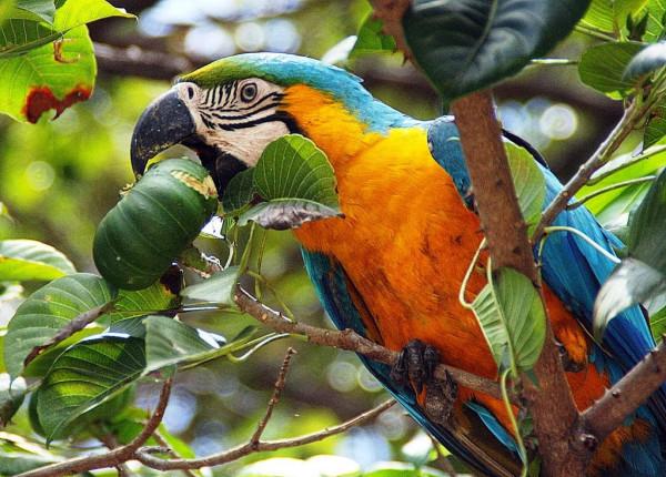 кормление попугаев ара