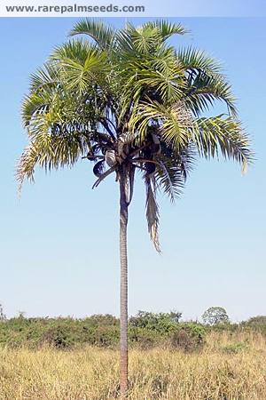 сиаргус овощной (Syagrus oleracea)