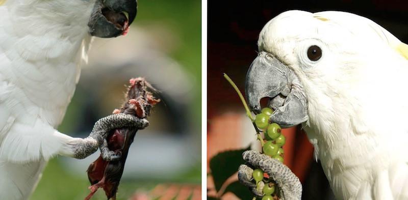 лечение попугая какаду от аспергиллеза