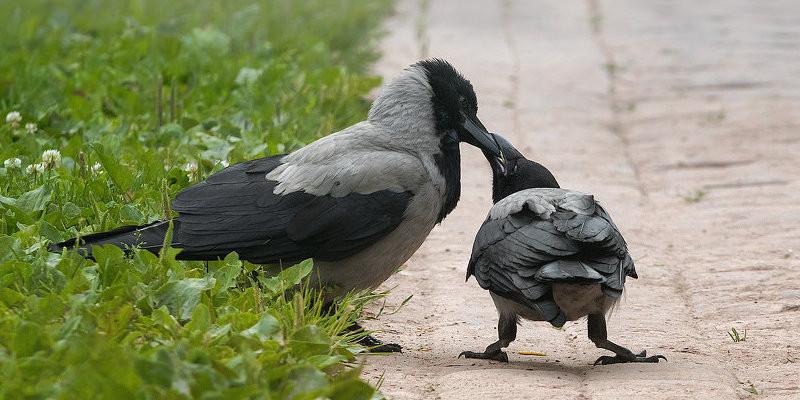 чем кормить маленькую ворону, слетка сороки или галки
