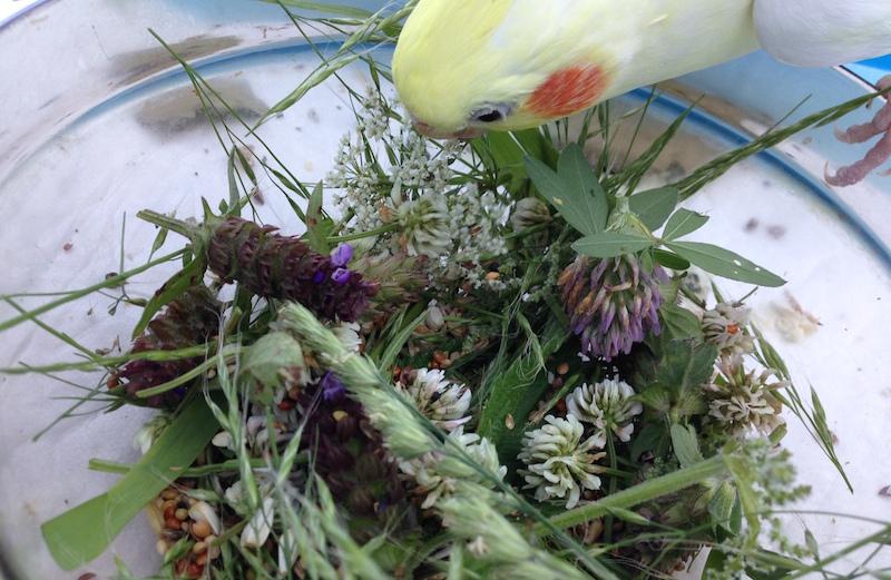 какие травы и сорняки можно давать попугаю