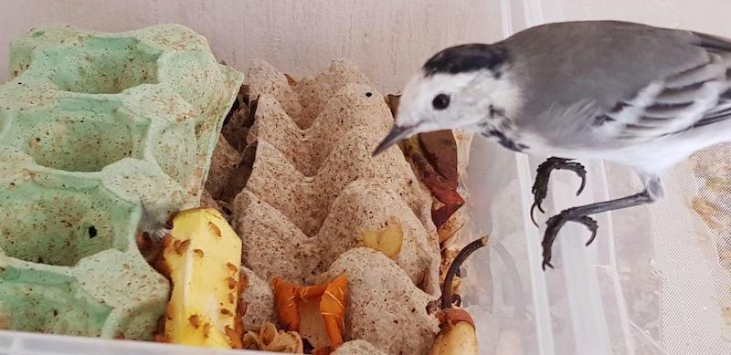 Как разводить кормовых насекомых для птиц дома