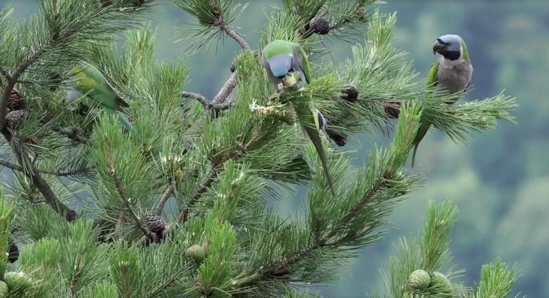 Китайские кольчатые попугаи (Psittacula derbiana)