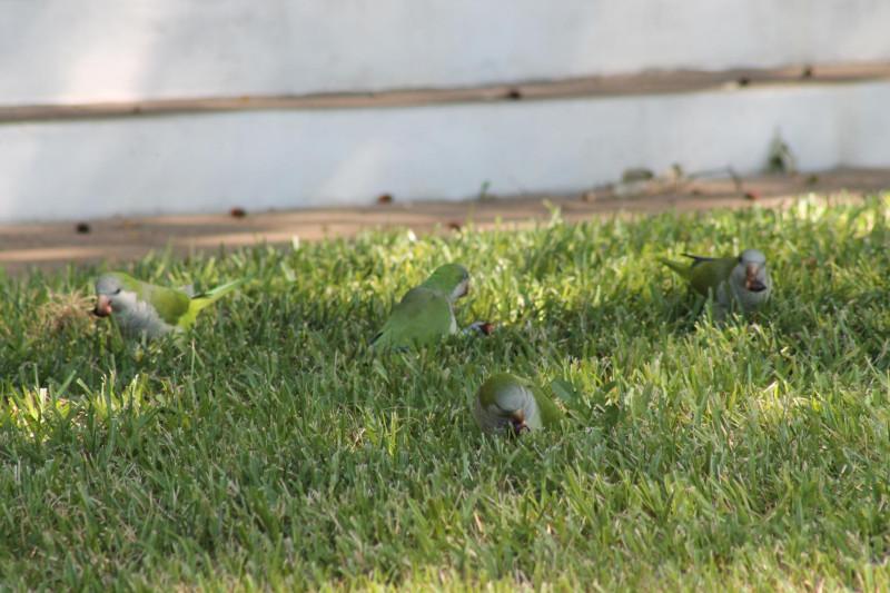 можно ли давать желуди попугаям