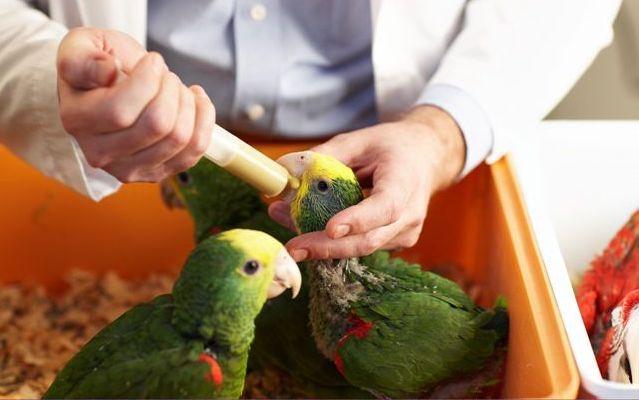 попугаи выкормыши