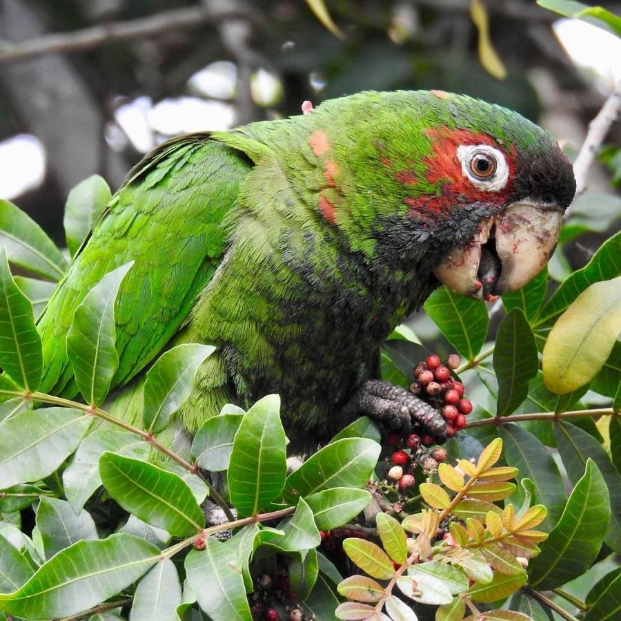 можно ли давать перец попугаю