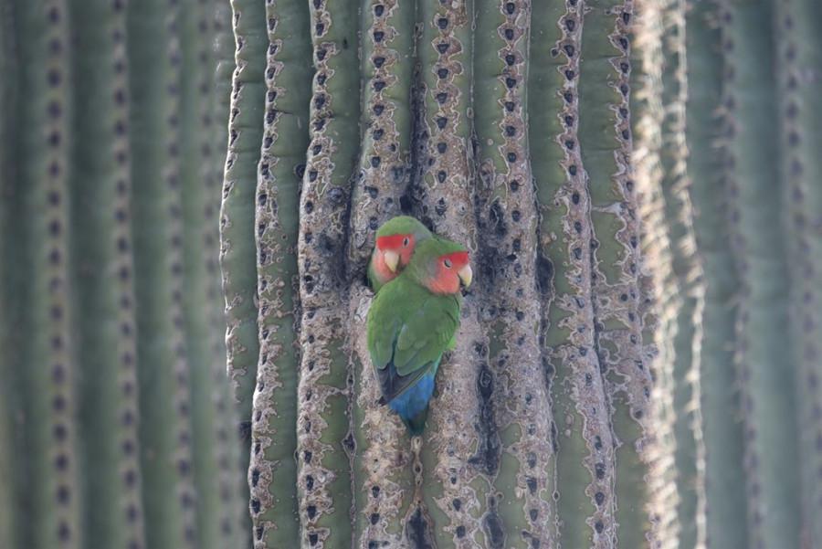 попугаи розовощекие неразлучники в Аризоне