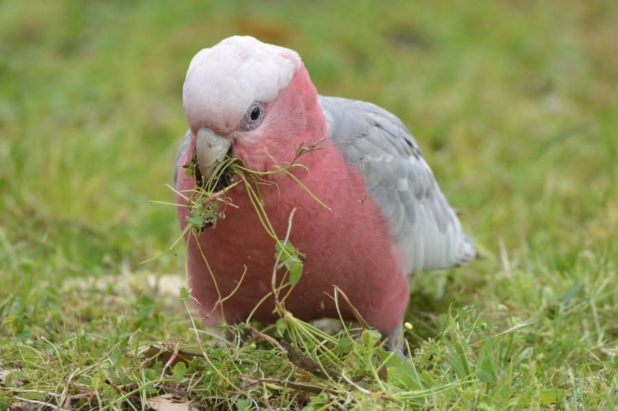 розовый какаду кормится корнями трав