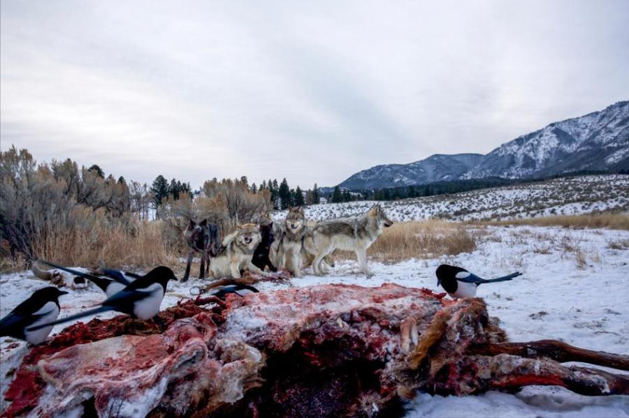 сороки кормятся на туше мертвого оленя