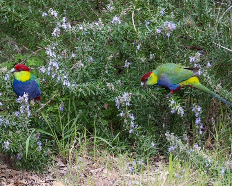 попугаи едят розмарин