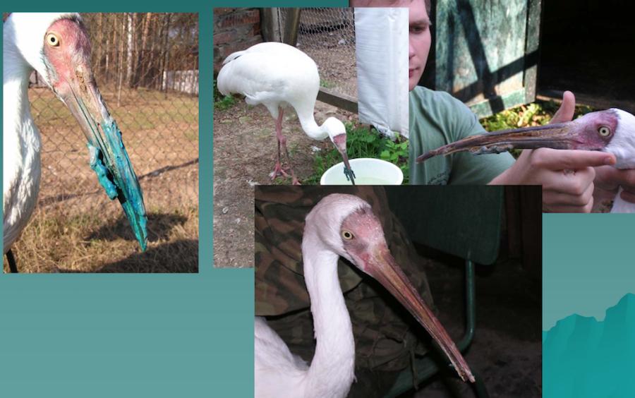 перелом клюва у журавля стерха. Лечение перелома клюва у птиц.
