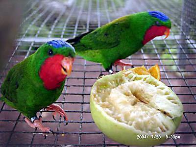 попугаи и попугайчики лечение птиц. В.Е. Козлитин