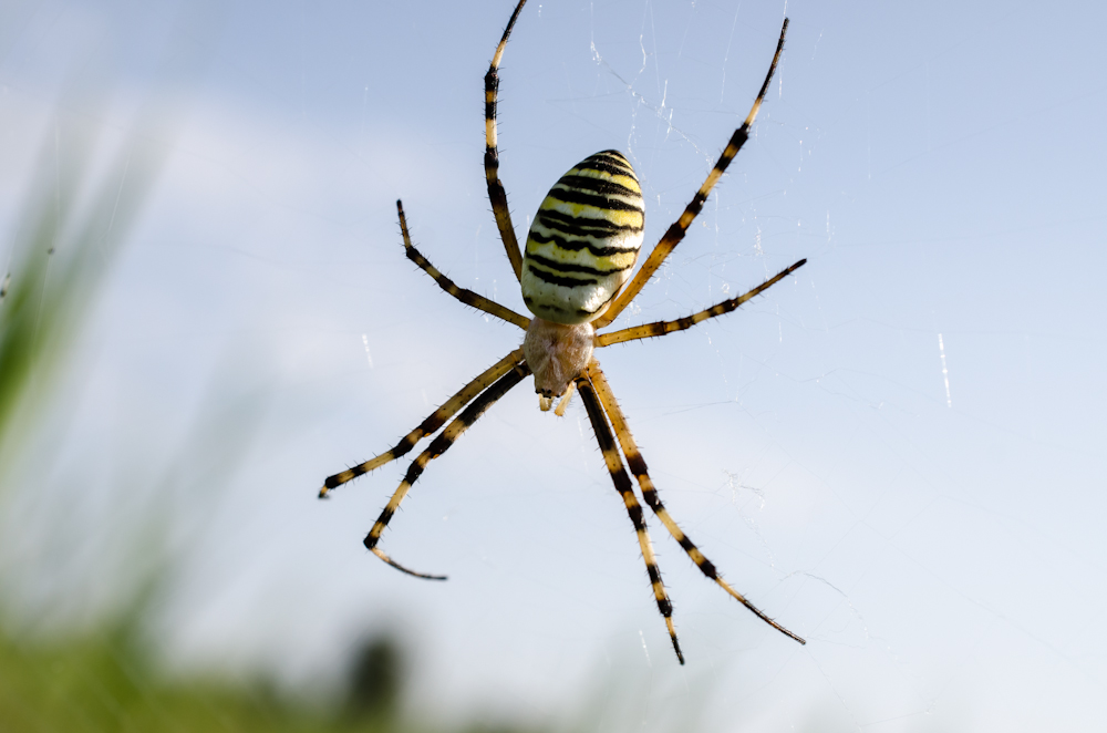 поговорить паук черный с желтыми полосками фото и описание везде, где люди