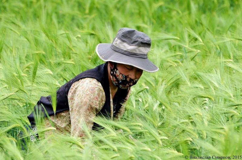 Тибетка в поле