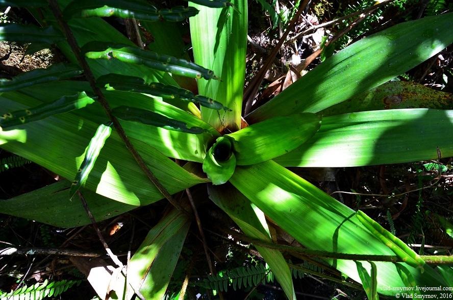хищное растение brochinnia tatei