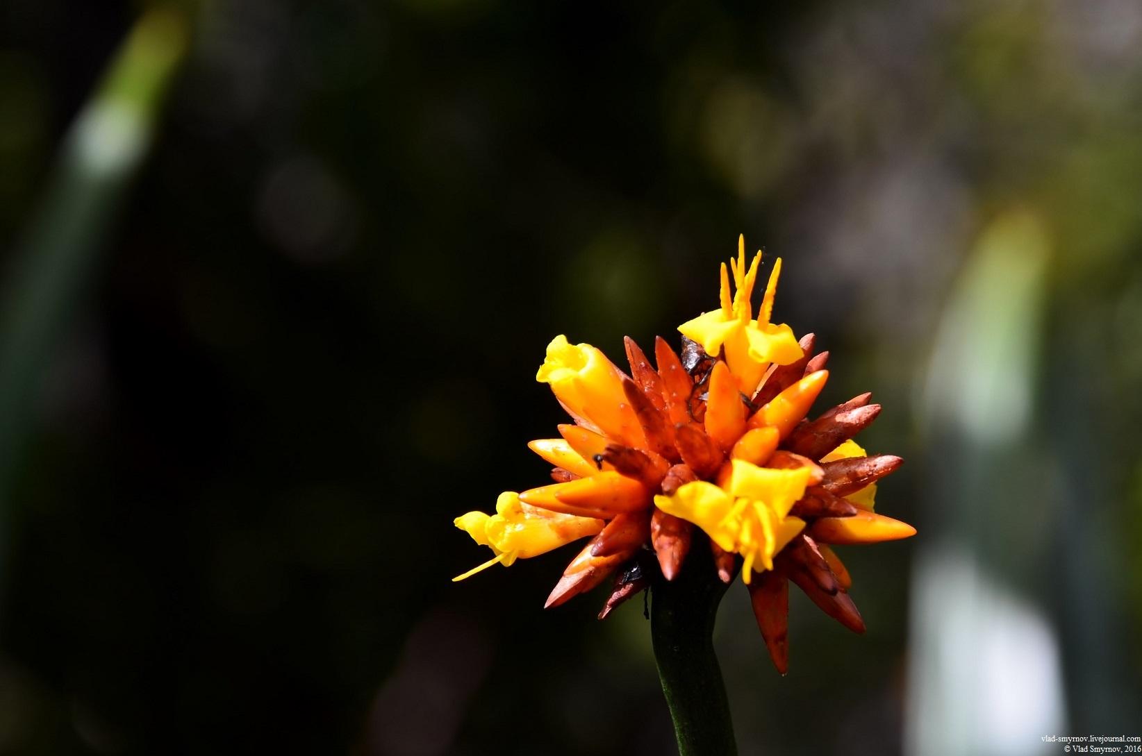 stegolepis guianensis