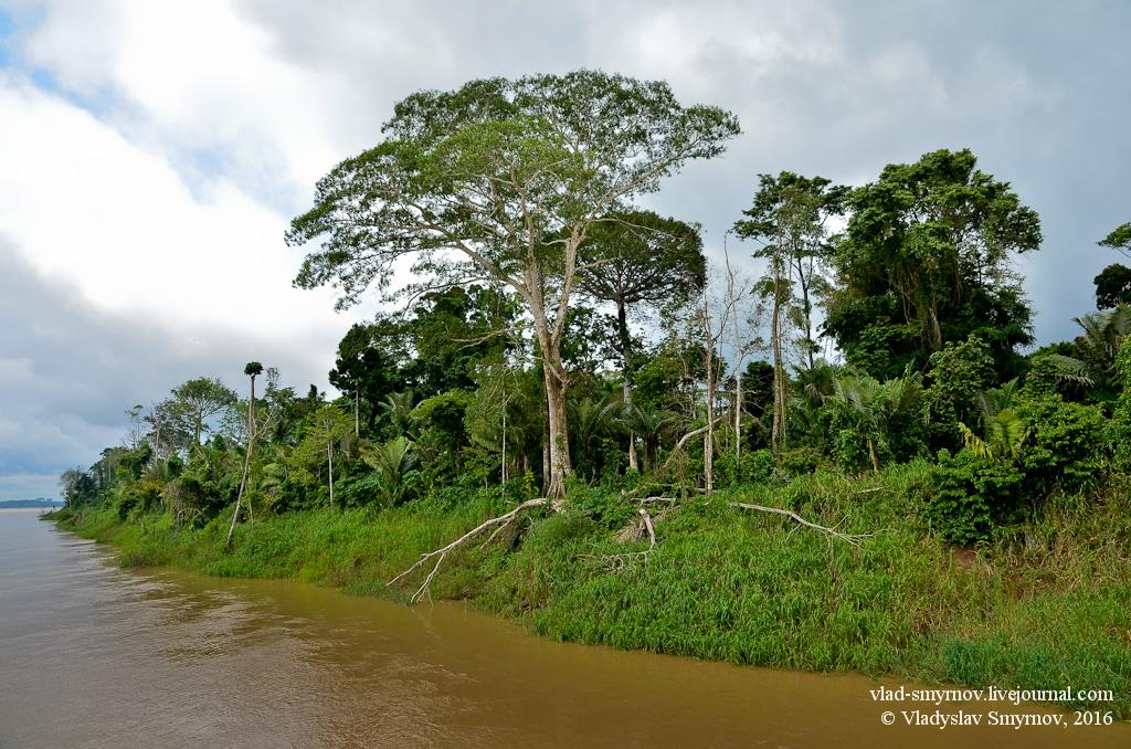 амазонский лес - мир гигантских деревьев