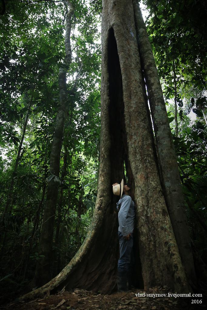 внутри этого гигантского дерева пусто. Работа лианы-убийцы