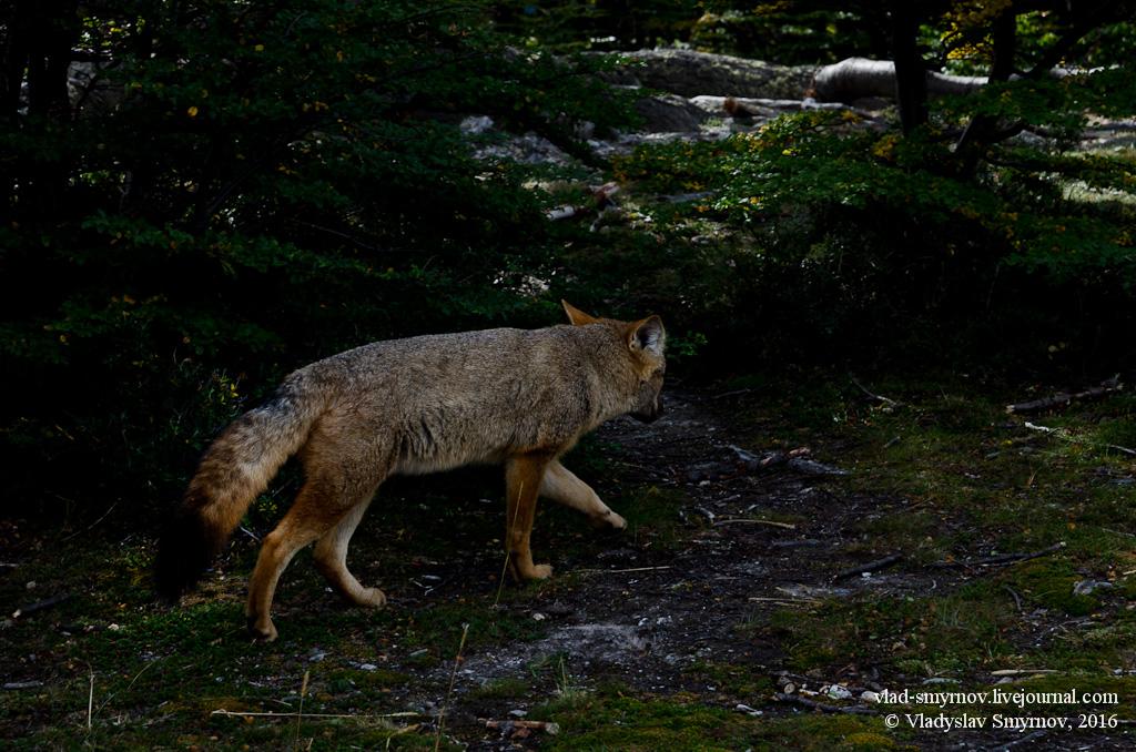 Здесь в тёмных лесах бродят мудрые лисы