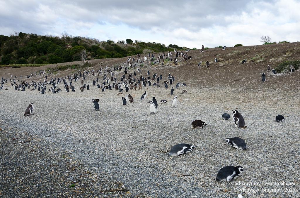колония магеллановых пингвинов возле Ушуайи