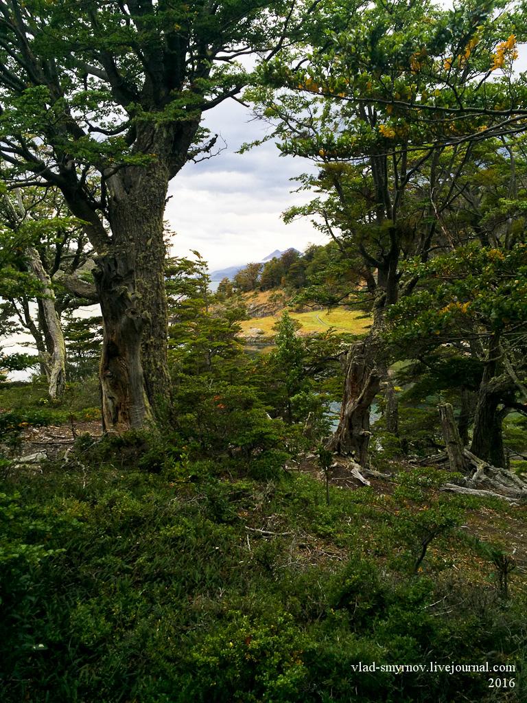 магелланов лес