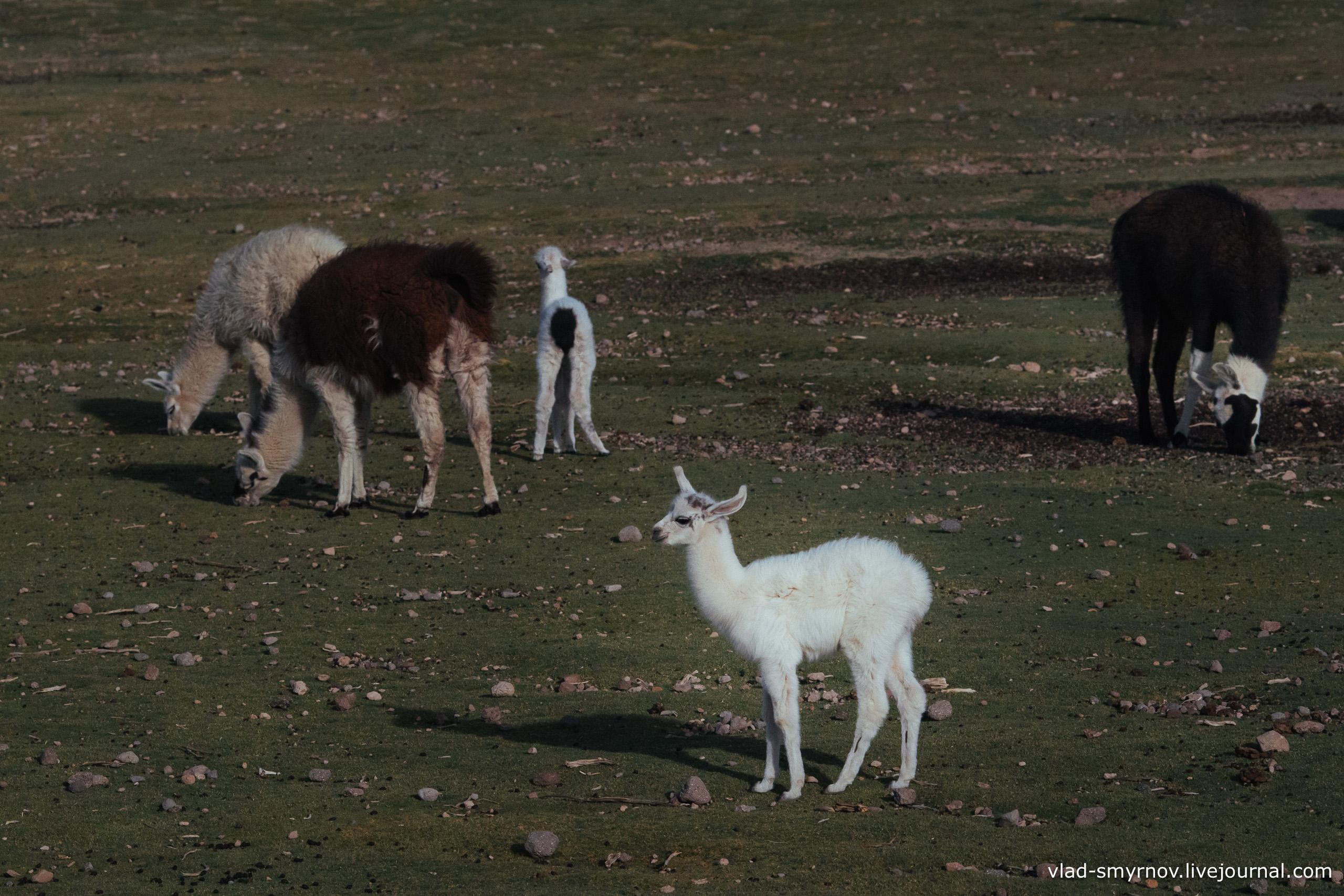 Белая лама