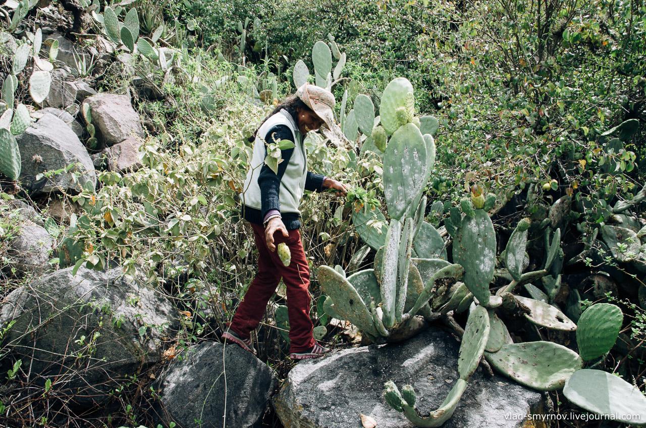 В каньоне Колка жители употребляют в пищу кактусы