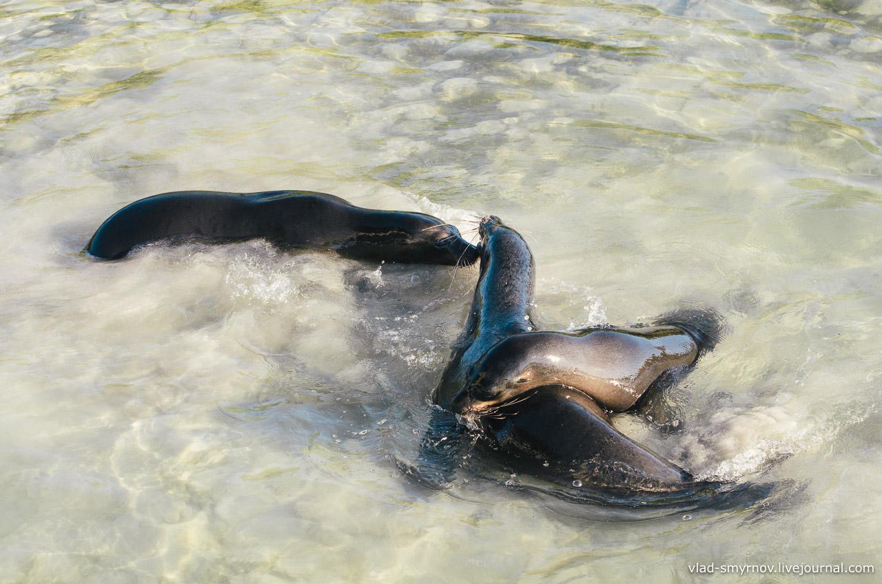 Морские котики играют
