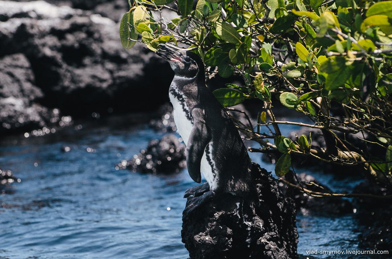 Галапагосские пингвины