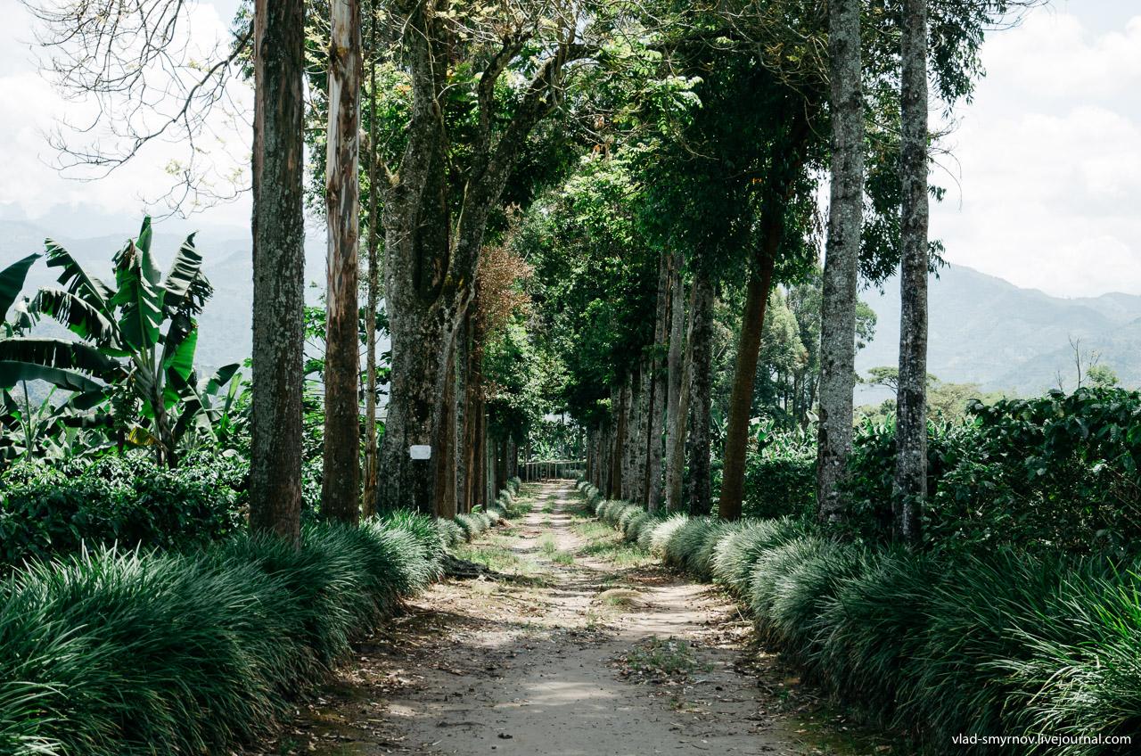 Дорога через кофейные плантации
