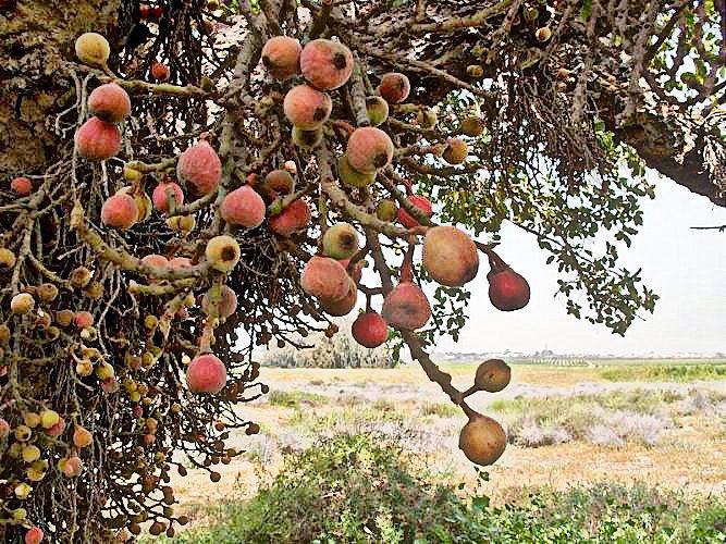 2 плоды смкомора