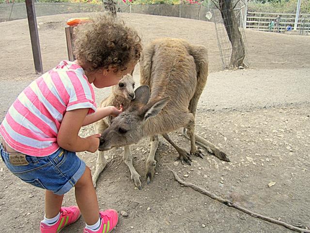 3 кормление кенгуру