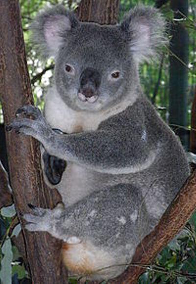 4 коала