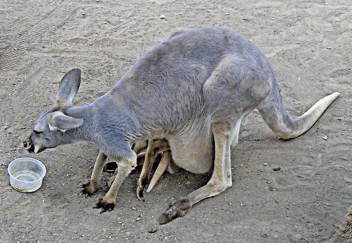 9 кенгуру в сумке