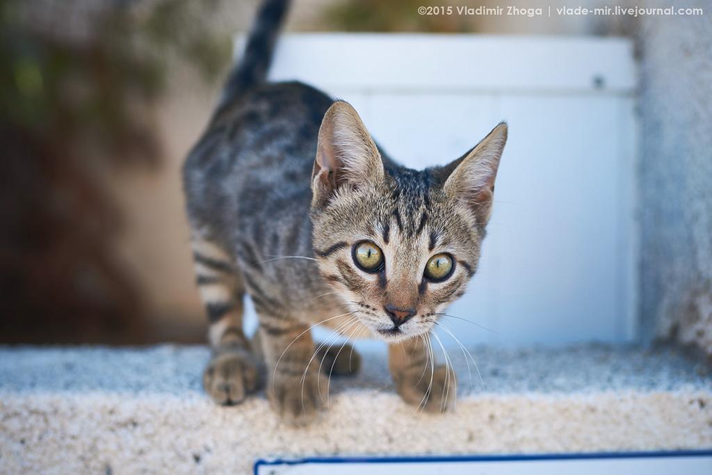 Кипрские котейки DSC03450.jpg