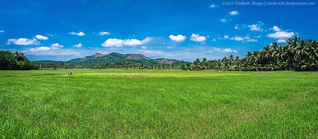 Индия - фотозарисовки с рисовых плантаций
