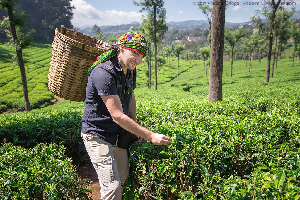 прикрепить посещение настоящих чайных плантаций фото что камбербэтчу