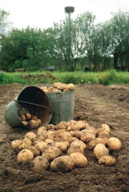 Выращиваем ведро картошки с квадратного метра