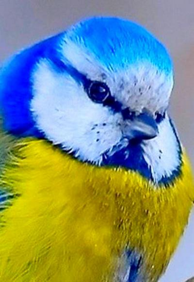 Украинская национальная птица-1-1