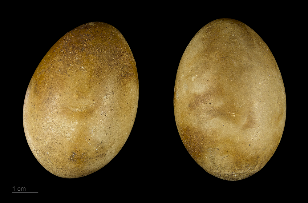 Яйца чомги