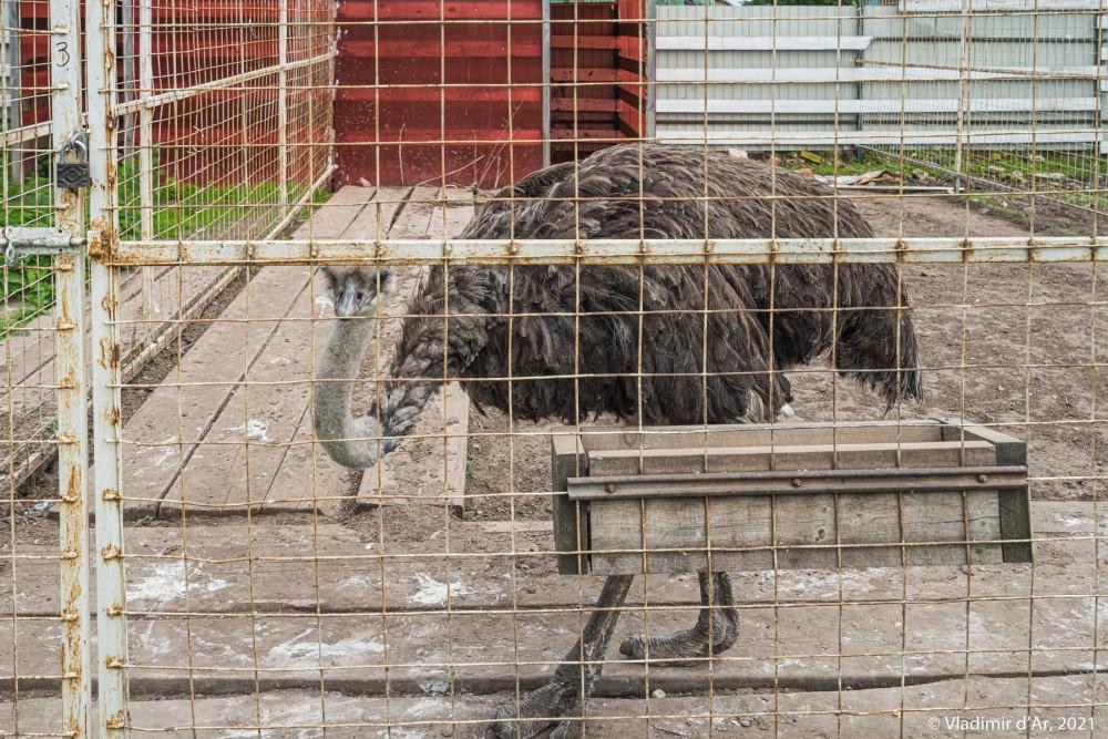 30. Страус в вольере Зоопарка